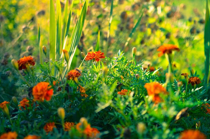 Marigold flowers in the meadow. In the sunlight stock photography