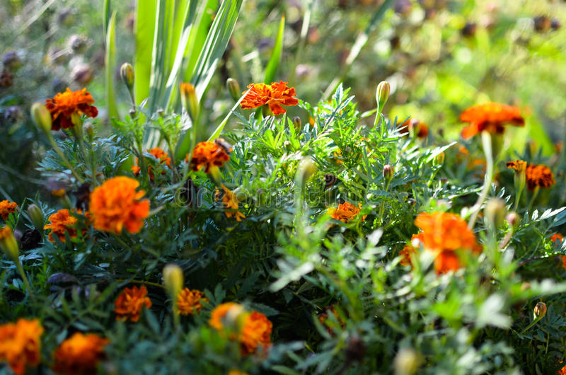 Marigold flowers in the meadow. In the sunlight stock photo