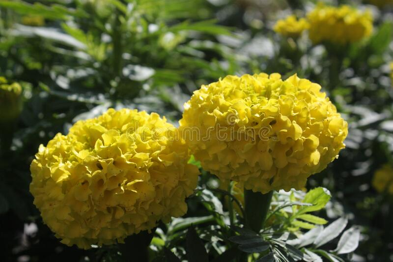 the marigold flowers in the nature. royalty free stock image