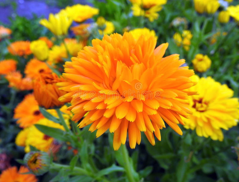 Marigold flowers. Orange flowers in summer garden , Lithuania royalty free stock image