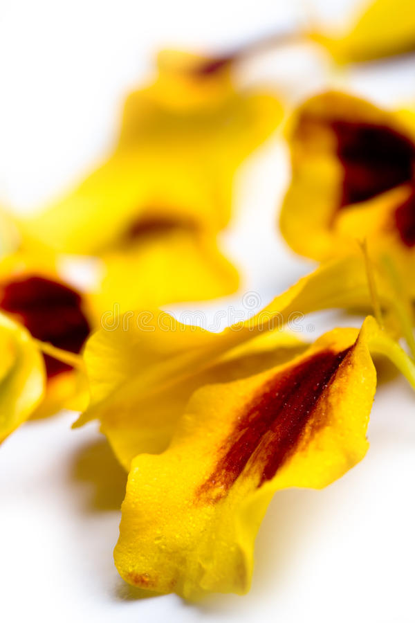 Download Marigold Flowers Petals Stock Photography - Image: 16531382