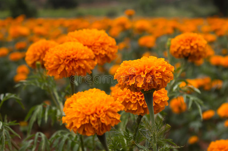 Marigold flowers. Shot at a farm Canon 6D 50mm f4.0 ISO 400 1/2000 stock photo