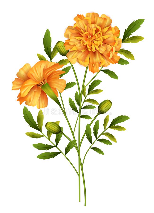 Free Marigold Flowers Vector Royalty Free Stock Photos - 156387388