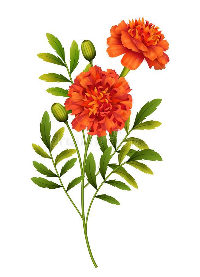 Free Marigold Flowers Vector Stock Photo - 158834390