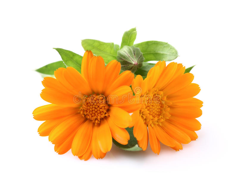 Marigold flowers. On a white background royalty free stock images