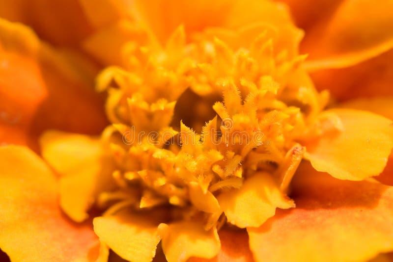 Marigold francês imagem de stock royalty free