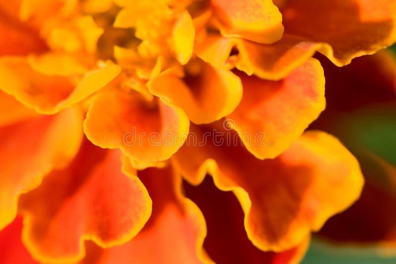 Marigold francês imagens de stock royalty free