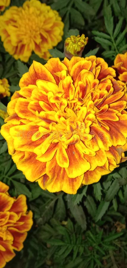 Marigold francês foto de stock royalty free