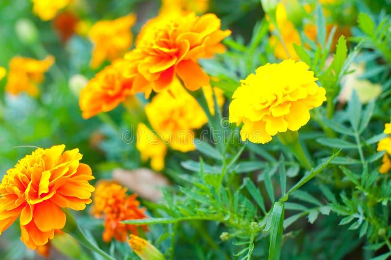Marigold francês foto de stock
