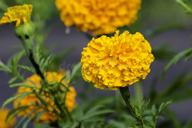 Marigold francês imagem de stock