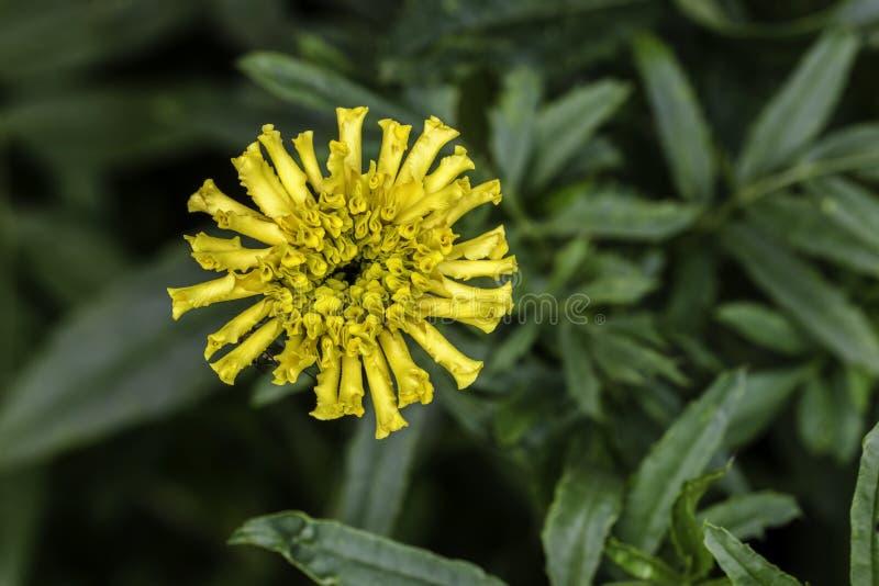 Marigold francês fotografia de stock