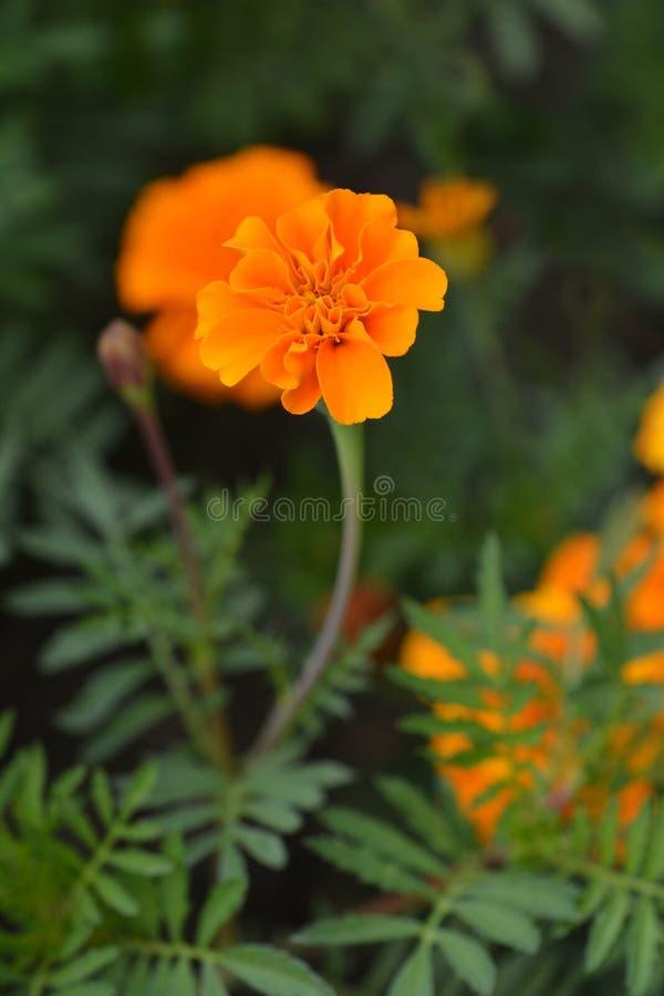 Marigold francês fotos de stock royalty free