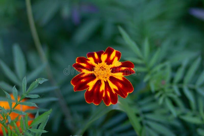 Marigold francês ou Tagetes patula no canteiro de flores fotografia de stock royalty free