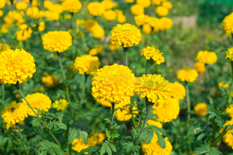 Marigold in garden royalty free stock images