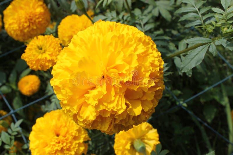 Marigold stock image image of beautiful blooming aztec 100242187 download marigold stock image image of beautiful blooming aztec 100242187 mightylinksfo