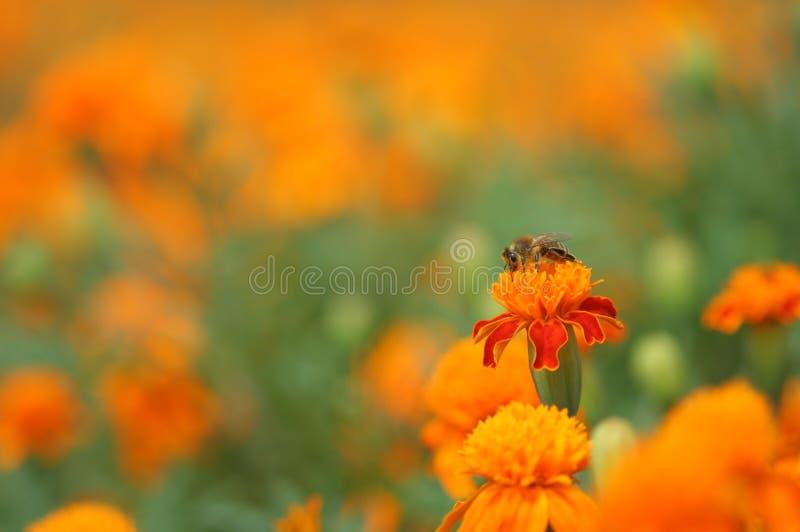 Marigold and honey bee royalty free stock photography