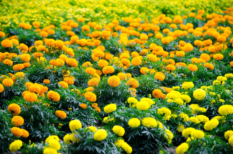 Marigold meadow in garden stock photo