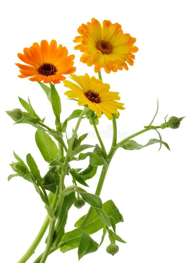Marigold officinalis calendula λουλουδιών που απομονώνονται χωρίς σκιά στοκ εικόνες με δικαίωμα ελεύθερης χρήσης