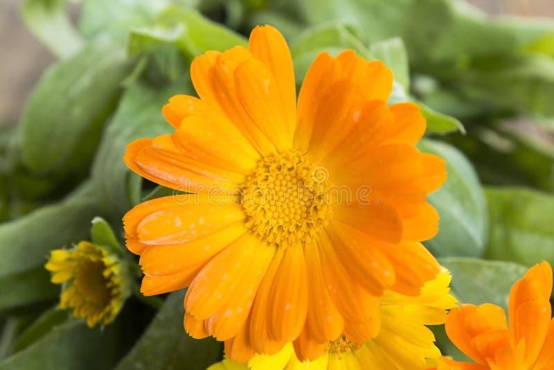 Marigold, officinalis calendula στοκ εικόνα με δικαίωμα ελεύθερης χρήσης