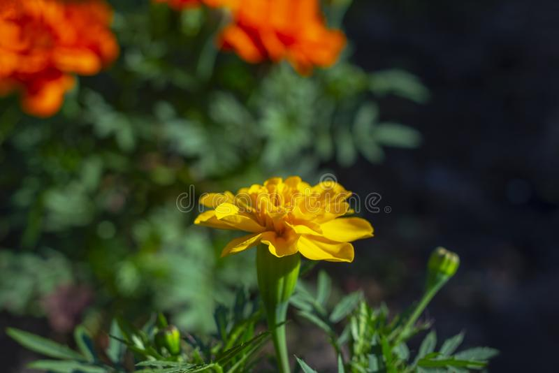 Marigold orange flower on a flowerbed against a background of other red flowers and green vegetation on the street. royalty free stock image