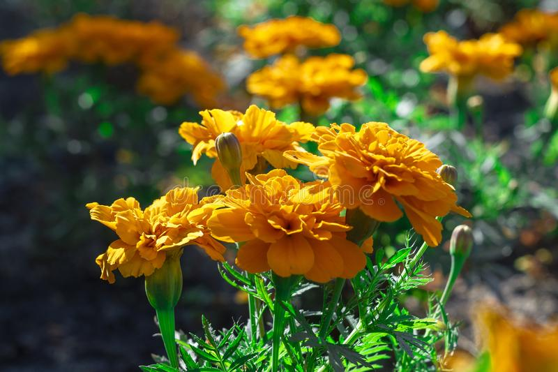 Marigold orange flowers in the flowerbed on the street. royalty free stock image