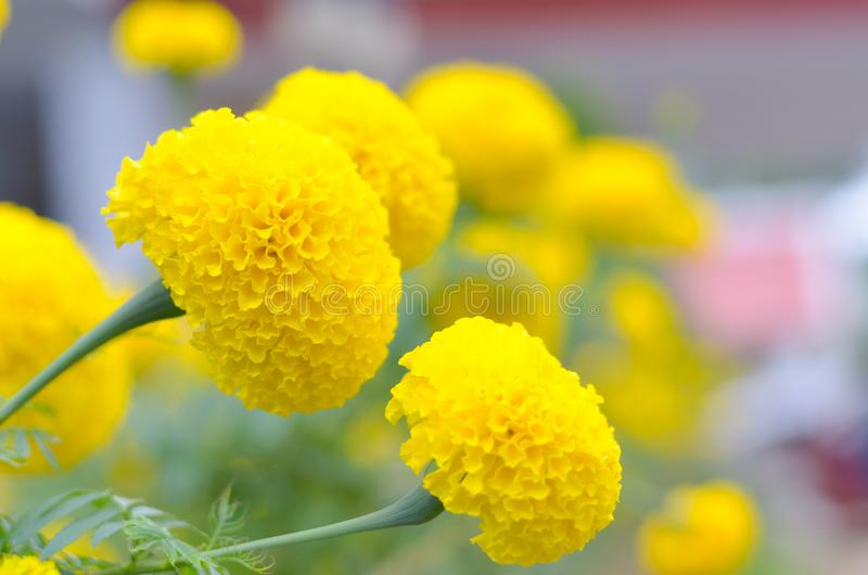 Marigold a plant in garden at summer under sunlight, typically with yellowl,nature background,abstract backgrounds,select focus stock images