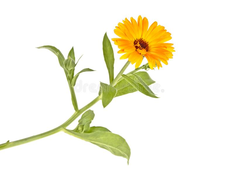 Marigold plant with leaves isolated on a white background. Calendula royalty free stock photos