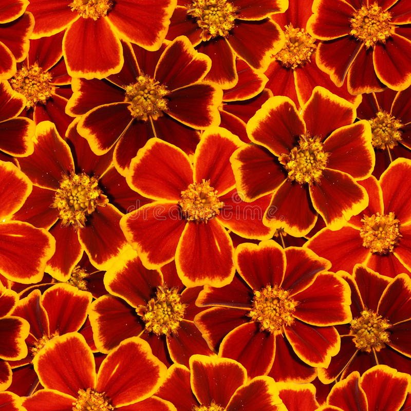 Marigold seamless pattern. royalty free stock photo