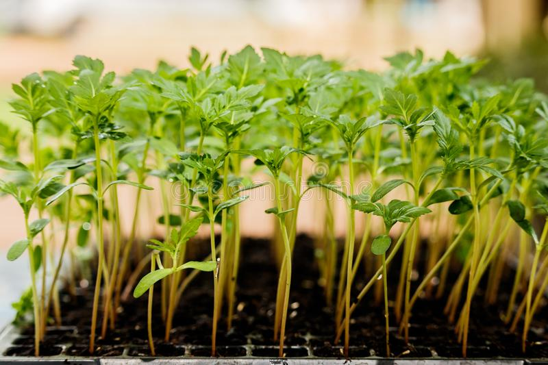 Marigold seedling grow in plastic seedling tray. stock images