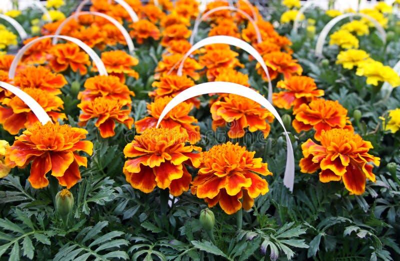 Download Marigold seedlings stock photo. Image of marigold, beautiful - 29802316