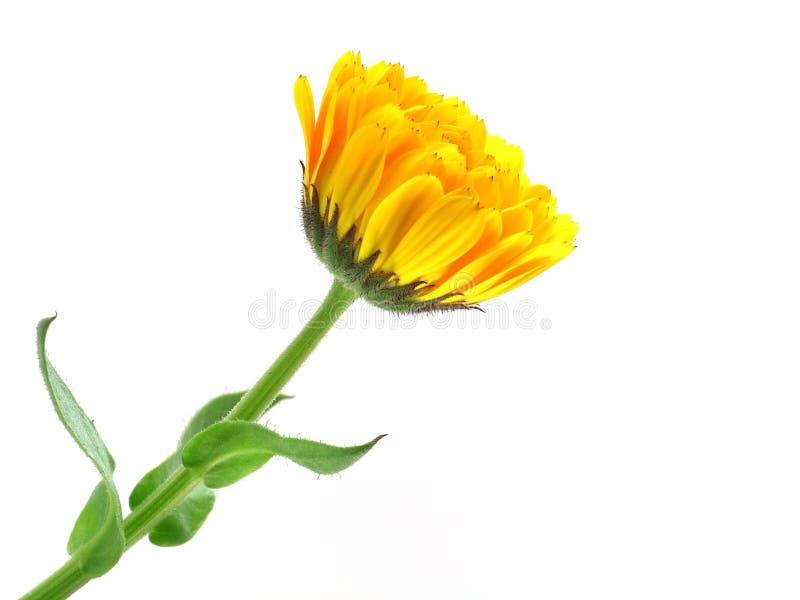 Download Marigold stock image. Image of blooming, gerber, orange - 34303269