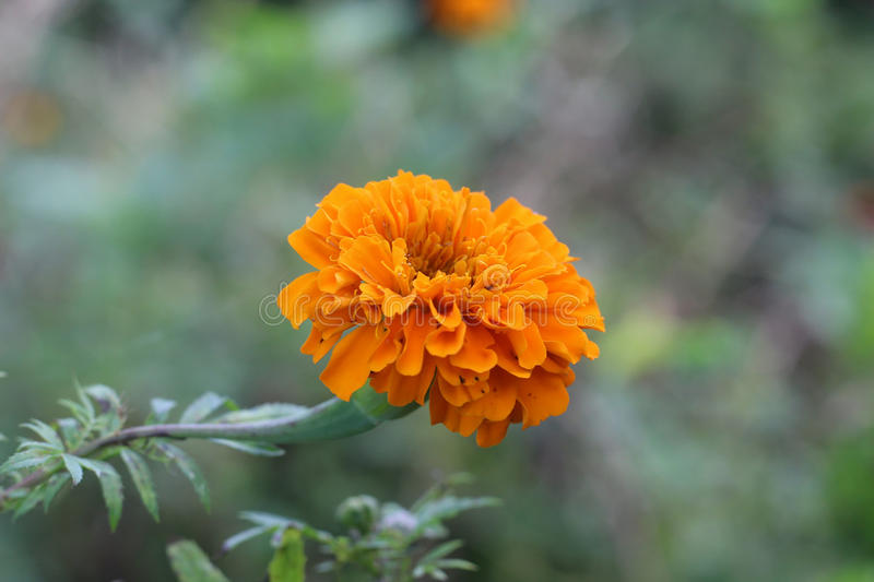 Marigold royalty free stock photos