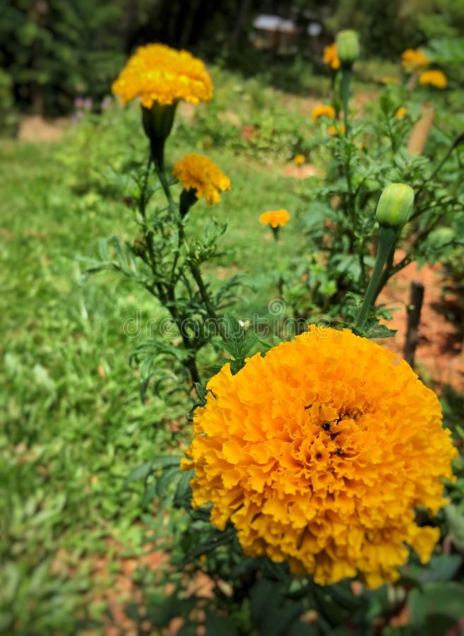Marigold in Sunny day royalty free stock image