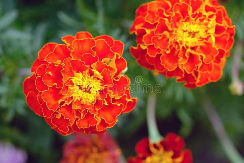 Marigold Tagetes close up. Bright orange flowers of tagetes in the summer garden. stock photo