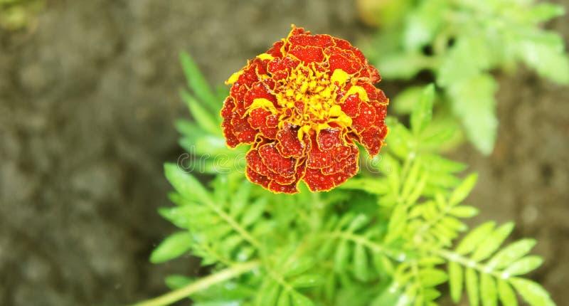Marigold Tagetes Patula λουλουδιών στον κήπο σε έναν θερινή περίοδο Άνοιξη και καλοκαίρι στην Πολωνία στοκ φωτογραφία