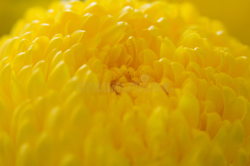 Download Marigold Up Close Stock Image - Image: 73491