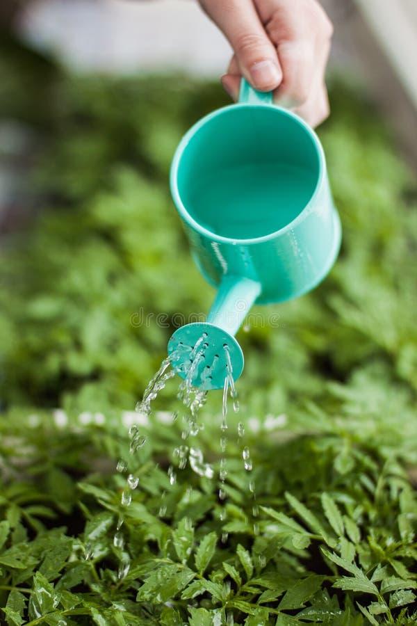 Marigold watering. Watering marigolds in beautiful greenhouse royalty free stock photo