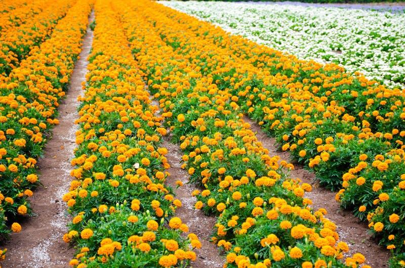 Marigold and white begonia garden stock photos