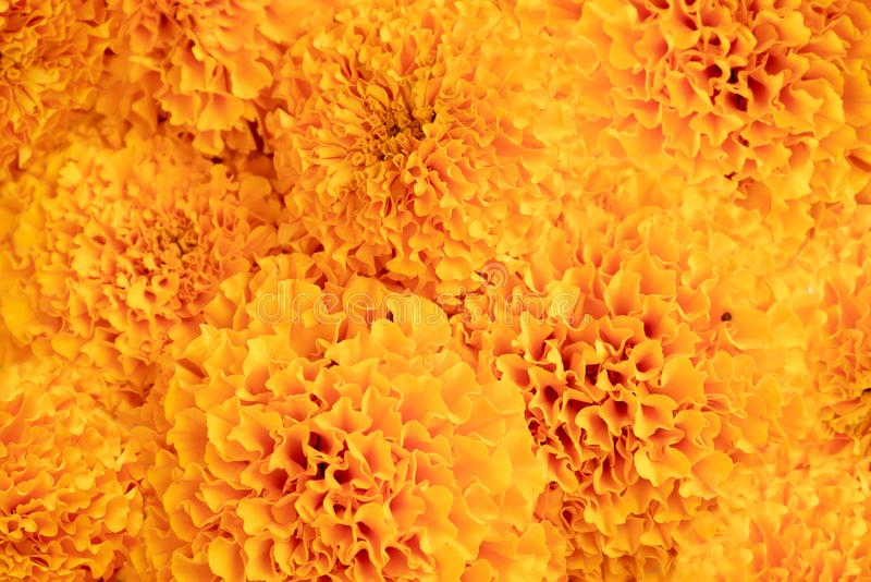 Marigold - yellow flower abstract texture and background stock images