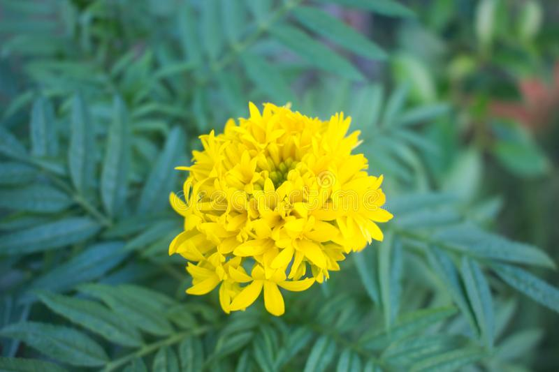 Marigold yellow flowers in the garden royalty free stock photos