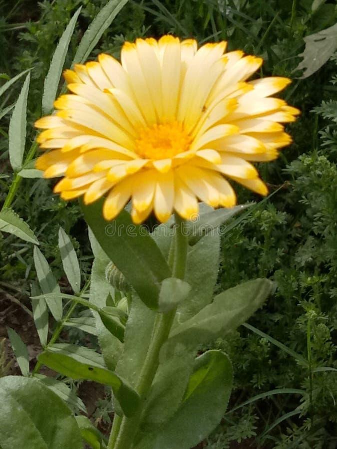 MarigoldPlants foto de archivo