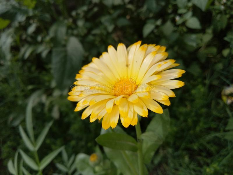 MarigoldPlants imagenes de archivo