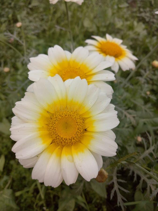 MarigoldPlants foto de archivo libre de regalías