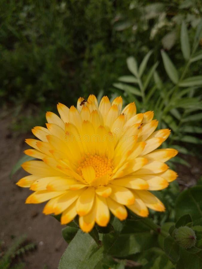 MarigoldPlants imagen de archivo libre de regalías