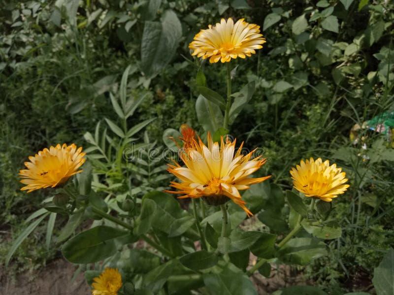 MarigoldPlants fotos de archivo