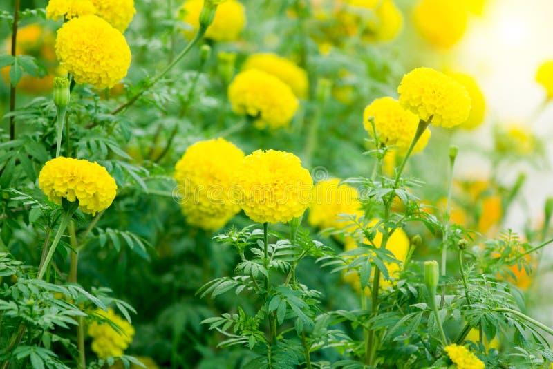 Marigolds λουλούδι στον τομέα στοκ φωτογραφία