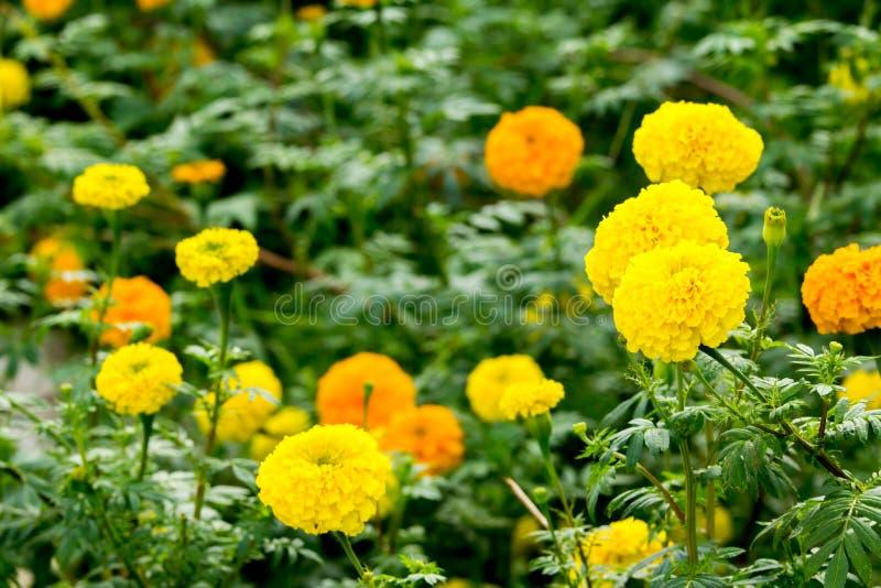 Marigolds λουλούδι στον τομέα στοκ εικόνες