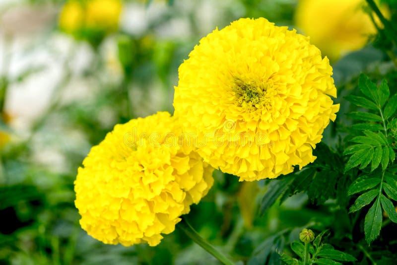 Marigolds λουλούδι στο δέντρο στοκ εικόνες