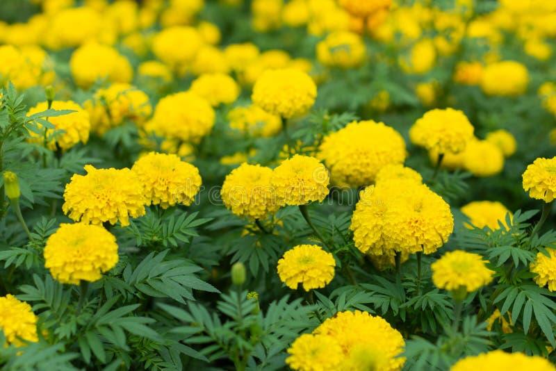 Marigolds στο πάρκο στοκ φωτογραφίες