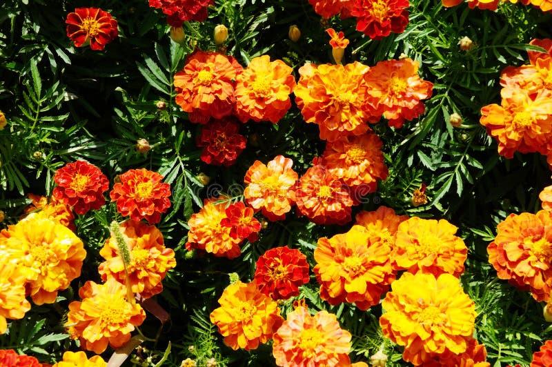 Marigolds υποβάθρου λουλουδιών οι πορτοκαλιές ζωντανά φωτεινές ανθίζοντας επίπεδες floral εγκαταστάσεις επάνω στοκ εικόνα